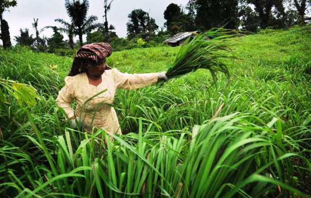 Petani Serai Wangi Damuli Siap Bersaing dengan Kadar Minyak Sitronelal 45%,