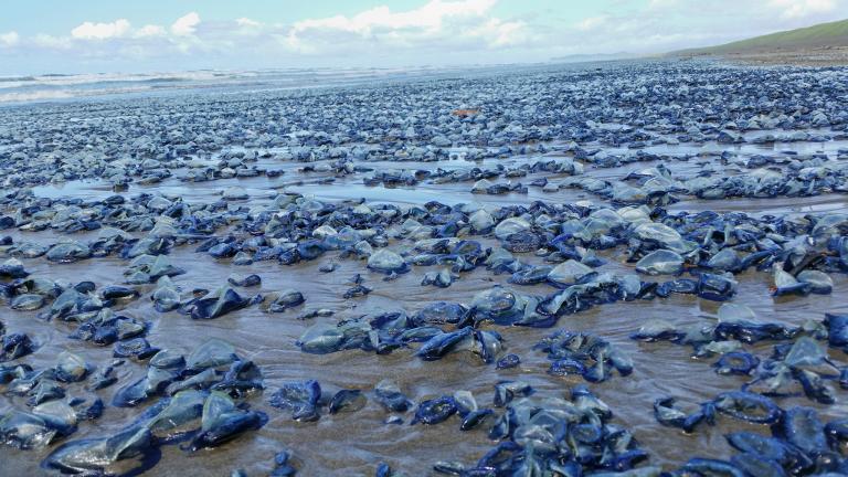 Dampak Pemanasan Global, berjuta Ubur-Ubur Mati