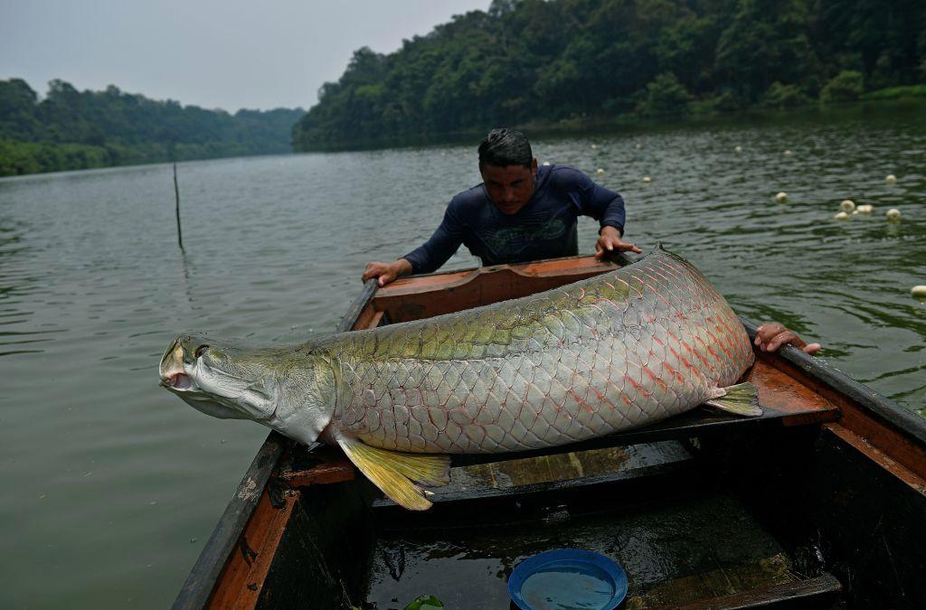 Seekor Ikan Monster Sungai Amazon ditemukan di Florida