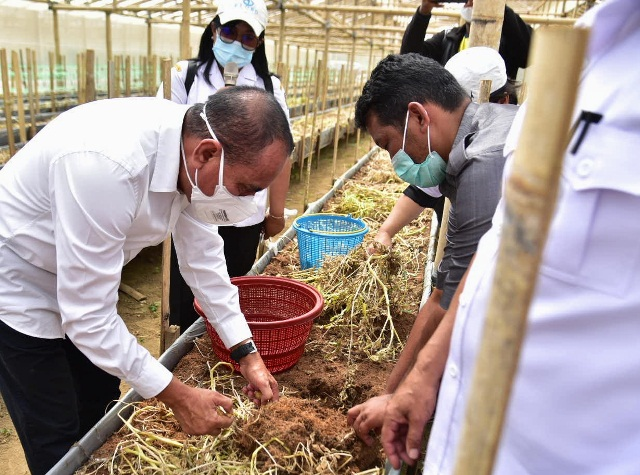 Tingkatkan Produksi Kentang Sumut, Edy Rahmayadi Dorong Pengembangan Bibit