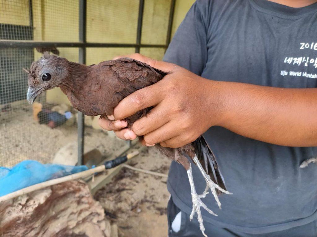 BBKSDA Sumut Lepasliarkan Burung Kuau Kerdil